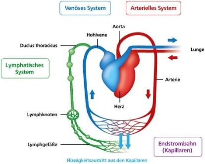Das Lymphgefäßsystem - Lymphnetzwerk